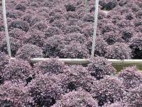 Purple Pixie Loropetalum